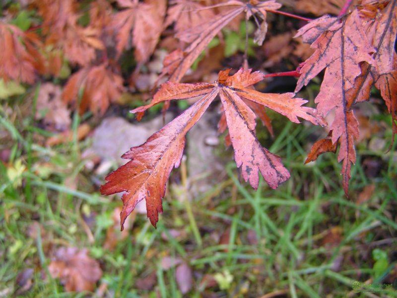 Японский клен (Acer japonicum): описание, посадка, выращивание и уход