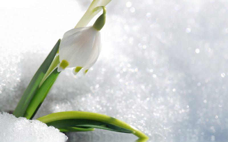 Когда появляются подснежники, где растут первые весенние цветы, фото