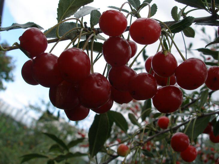 Монилиоз вишни — как лечить народными средствами