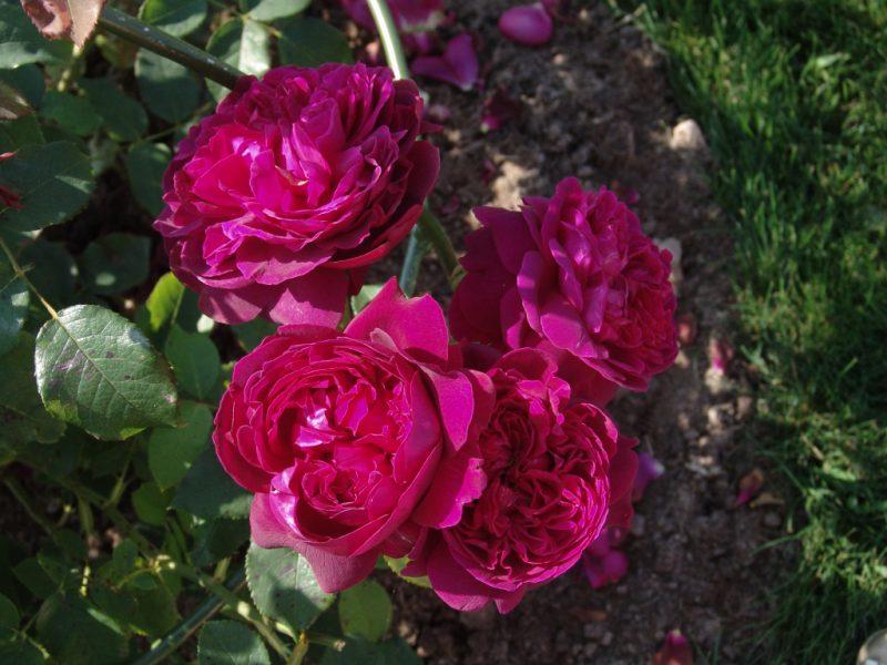 Английские розы: сорта, описание, уход и выращивание
