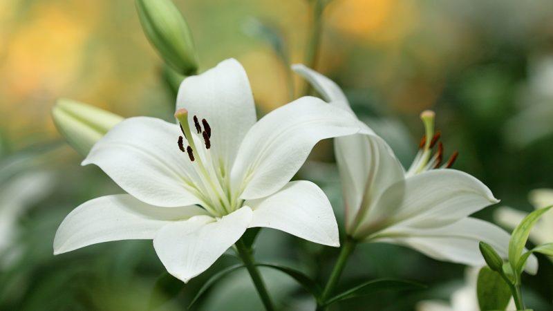 Белые лилии: посадка, выращивание и уход за цветами