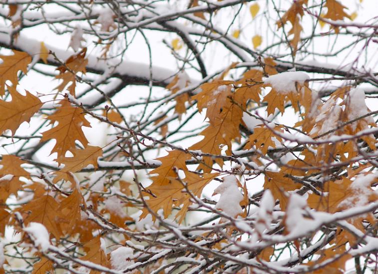 Канадский клён (сахарный, Acer saccharum): описание, использование, посадка и уход