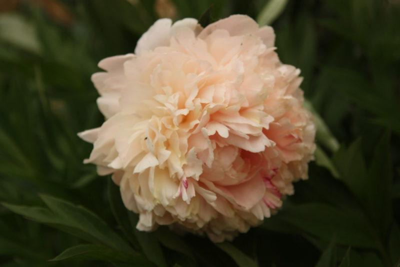 Пион травянистый: лучшие сорта, посадка и уход