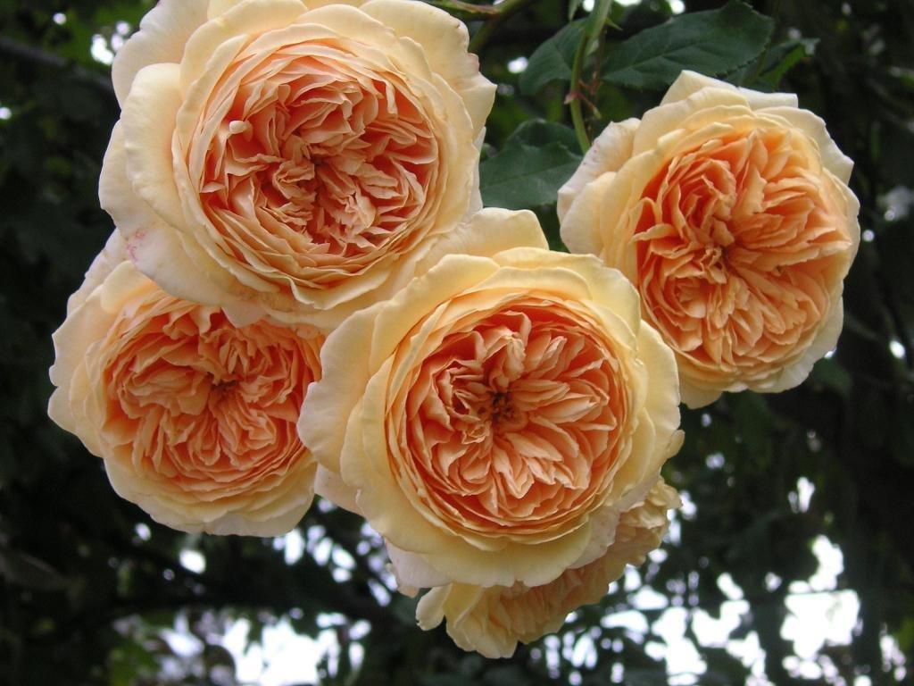 Английская роза – описание сортов, уход и выращивание