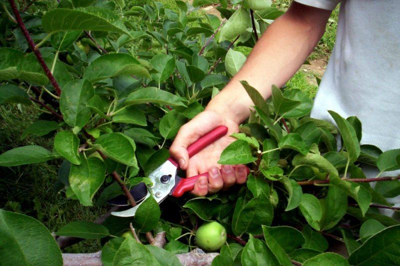 Яблоки Ранетки: описание сортов, посадка, уход за мелкоплодной яблоней