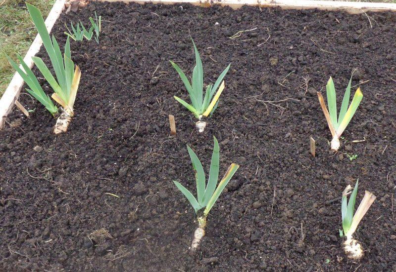 Когда пересаживать ирисы: весной, осенью — нюансы и инструкция