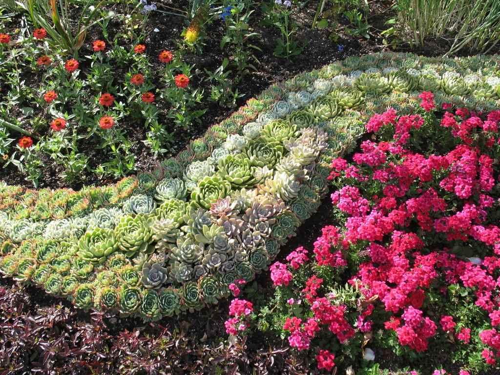 Каменная роза: посадка и уход, размножение цветка