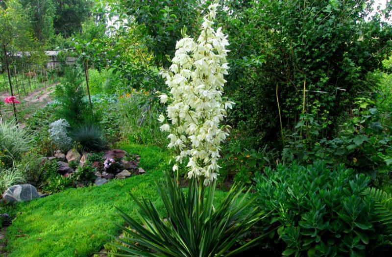 Юкка садовая (филаментоза): описание, посадка и уход