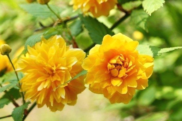 Керрия японская: сорта, описание, посадка, выращивание и уход