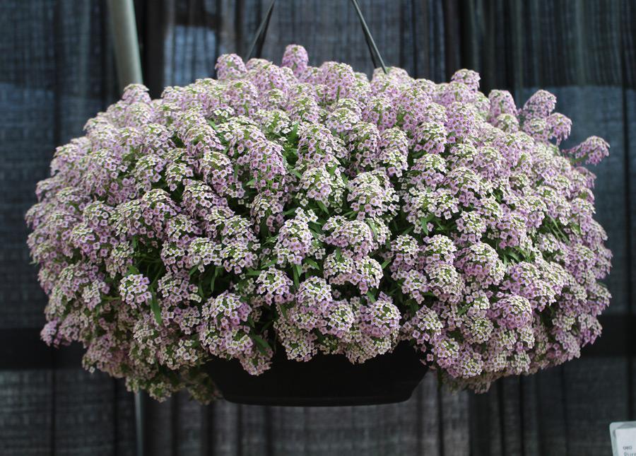 Цветы Алиссум: описание сортов, выращивание из семян, посадка и уход в открытом грунте