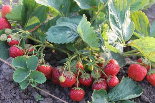 Земляника садовая: лучшие сорта, посадка, выращивание и уход