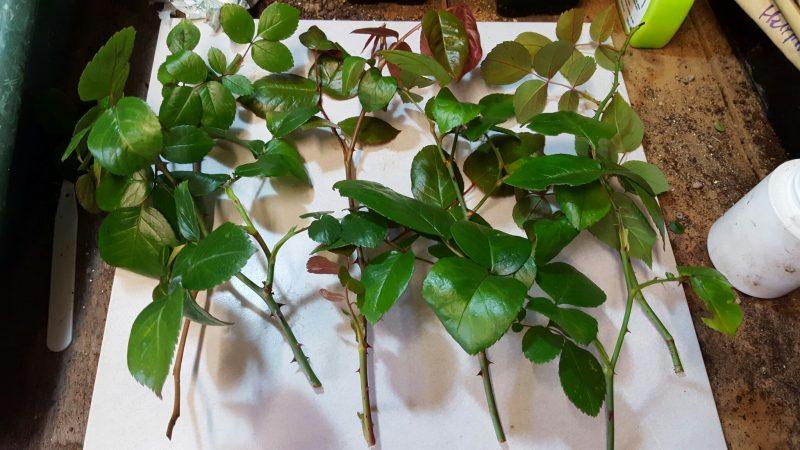 Вьющиеся розы: описание, сорта и виды, посадка и уход