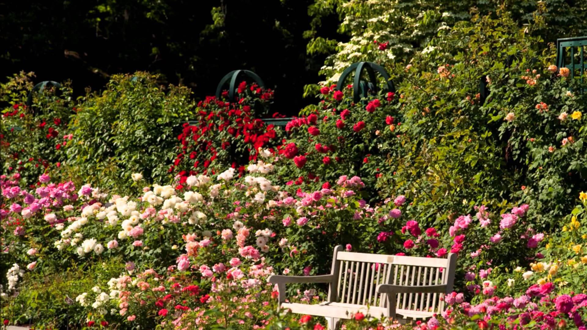 Парковые розы: описание, посадка, выращивание и уход, лучшие сорта