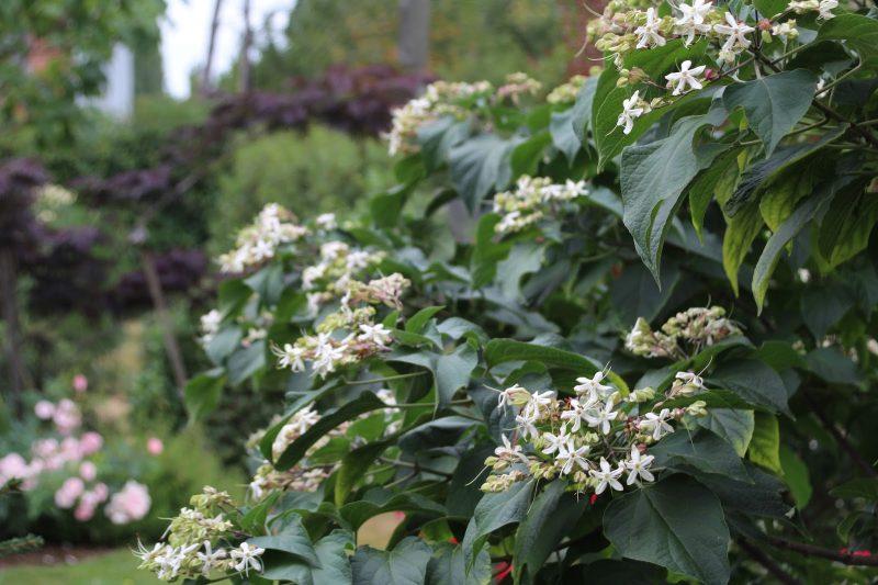 Гортензия дуболистная: описание, посадка, выращивание и уход