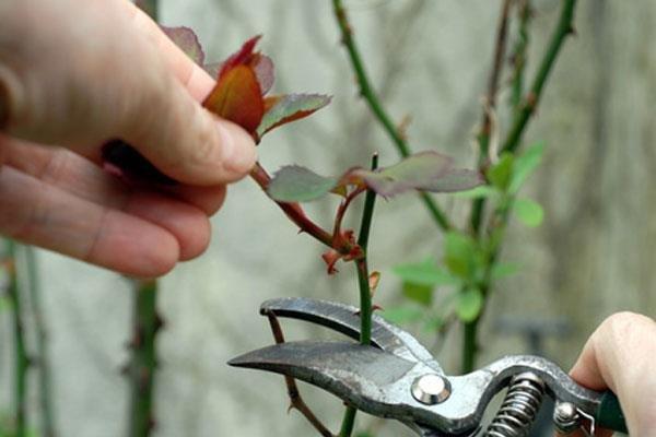 Уход за розами весной: советы, как ухаживать за розами в саду после посадки и после зимовки