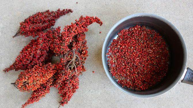 Уксусное дерево: посадка, уход и выращивание дома