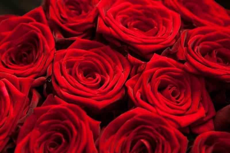 Голландские розы: описание сортов, выращивание и уход