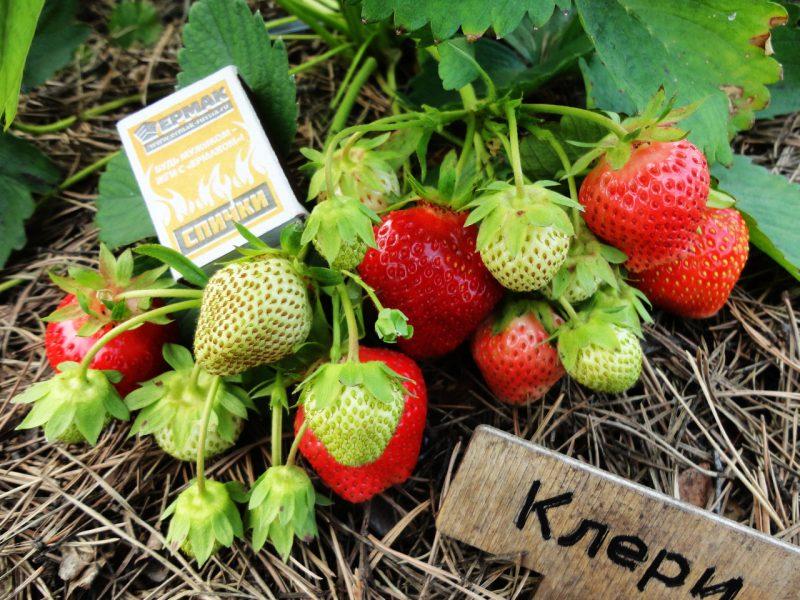Клубника Клери: описание сорта, выращивание и уход, урожайность с куста