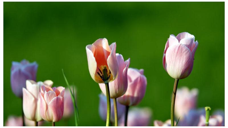 Уход за тюльпанами после цветения в саду