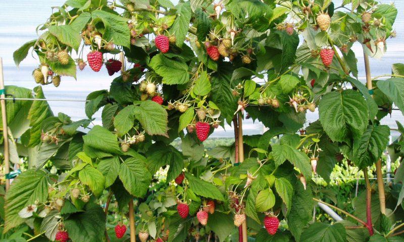 Малиновое дерево: посадка и уход, выращивание, обрезка на зиму