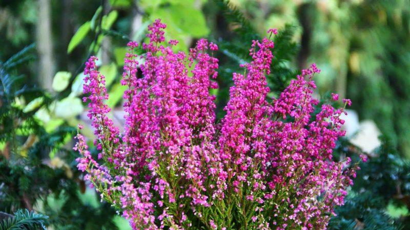 Вереск обыкновенный (Calluna vulgaris): описание, посадка, выращивание и уход в открытом грунте