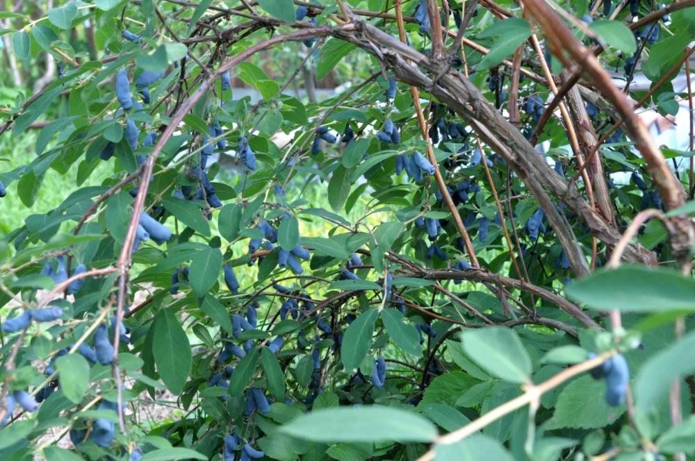 Жимолость «Камчадалка» 🌿: описание сорта, срок созревания ягод, посадка, выращивание и уход